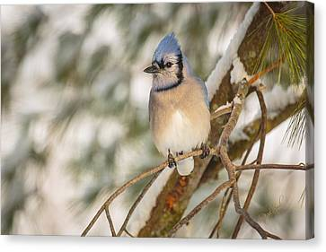 Blue Jay Canvas Print by Everet Regal