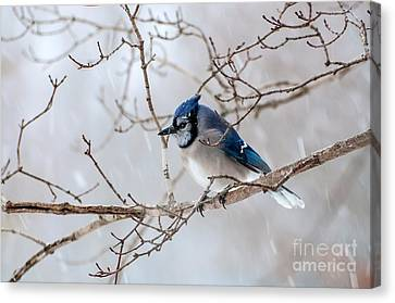 Blue Jay In Blowing Snow Canvas Print by Debbie Green