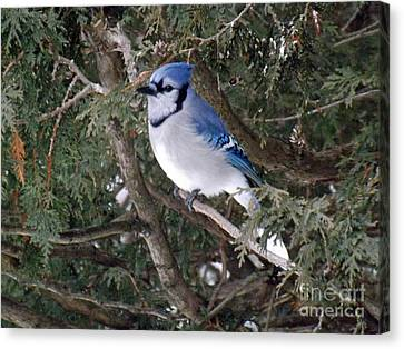 Canvas Print featuring the photograph Blue Jay In The Cedars by Brenda Brown