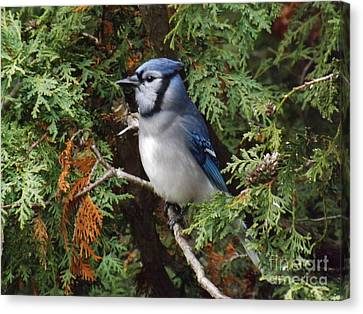 Canvas Print featuring the photograph Blue Jay In Cedar Tree 2 by Brenda Brown