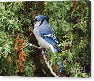 Canvas Print featuring the photograph Blue Jay In Cedar Tree by Brenda Brown