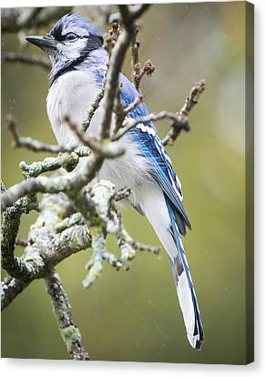 Blue Jay In The Rain Canvas Print by Ricky L Jones