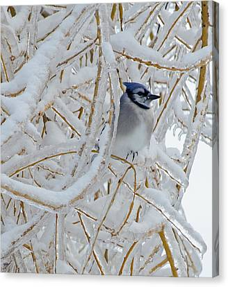 Blue Jay In Willow Canvas Print by Jeff Galbraith
