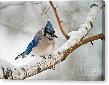 Canvas Print - Blue Jay In Winter by Michael Cummings