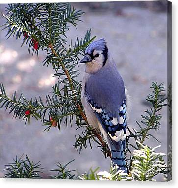 Canvas Print featuring the photograph Blue Jay - Morning Visitor  by Susan  Dimitrakopoulos