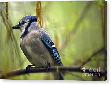 Blue Jay On A Misty Spring Day Canvas Print by Lois Bryan