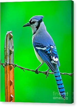 Blue Jay On The Fence Canvas Print