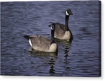 Blue Lake Geese Canvas Print