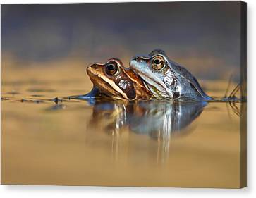 Frog Canvas Print - Blue Love ... Mating Moor Frogs  by Roeselien Raimond