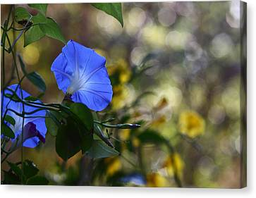 Garden Scene Canvas Print - Blue Morning Glories by Linda Unger
