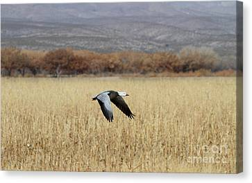 Blue Morph In Flight Canvas Print by Ruth Jolly