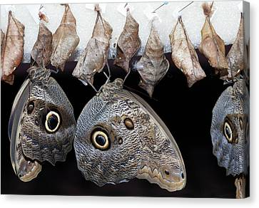Blue Morpho Butterflies And Cocoons Canvas Print by Dirk Wiersma