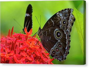 Blue Morpho Butterfly (morpho Peleides Canvas Print by Chuck Haney