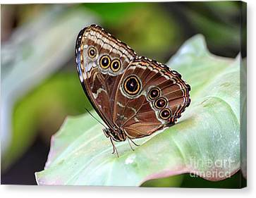 Canvas Print featuring the photograph Blue Morpho Butterfly by Teresa Zieba