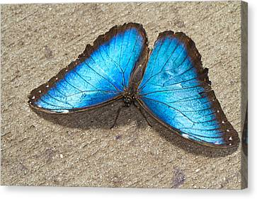Canvas Print featuring the photograph Blue Morpho by John Hoey