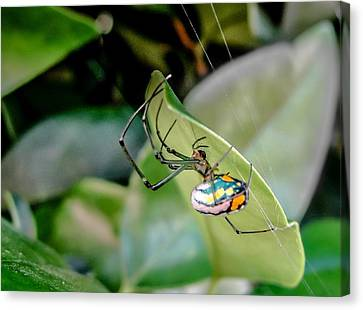 Canvas Print featuring the photograph Blue Orbweaver by TK Goforth
