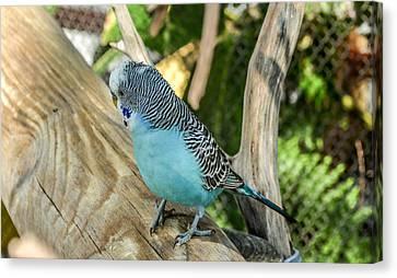 Blue Parakeet Canvas Print by Renee Barnes