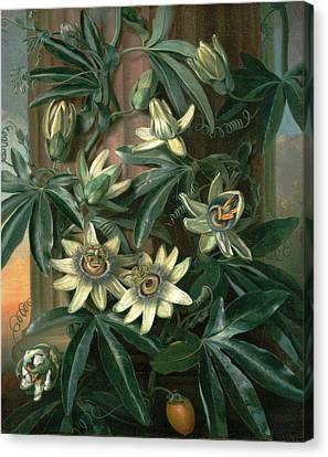 Blue Passion Flower, For The Temple Of Flora By Robert Canvas Print by Litz Collection