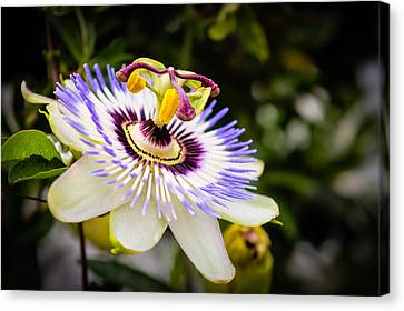 Blue Passion Flower Canvas Print