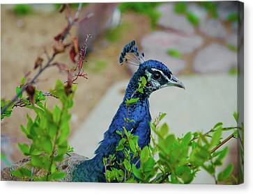 Blue Peacock Green Plants Canvas Print by Jonah  Anderson