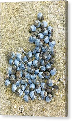 Blue Periwinkles On A Rocky Shore Canvas Print by Dr Jeremy Burgess