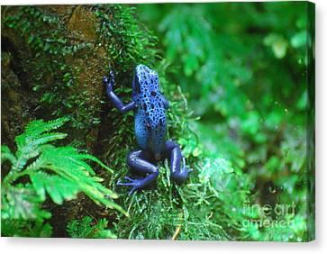 Blue Poison Dart Frog Canvas Print by DejaVu Designs