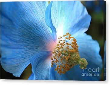 Blue Poppy Canvas Print by Carol Groenen