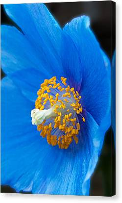 Blue Poppy Canvas Print by Michael Porchik