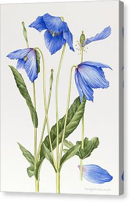 Horticultural Canvas Print - Blue Poppy by Sally Crosthwaite