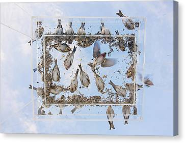 Crossbill Canvas Print - Blue Skies Above The Bird Feeder by Tim Grams