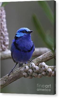 Blue Splendid Wren Canvas Print