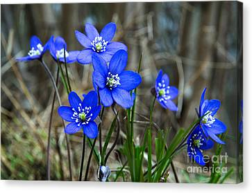 Blue Springtime Canvas Print