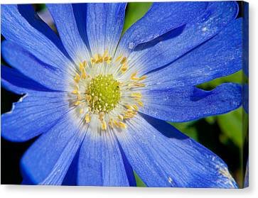 Blue Swan River Daisy Canvas Print by Tikvah's Hope