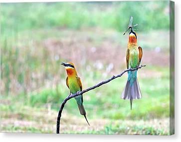 Bonding Canvas Print - Blue-tailed Bee-eater Courtship Gift by K Jayaram