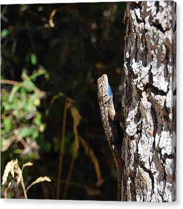 Canvas Print featuring the photograph Blue Throated Lizard 1 by Debra Thompson