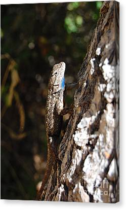 Canvas Print featuring the photograph Blue Throated Lizard 3 by Debra Thompson