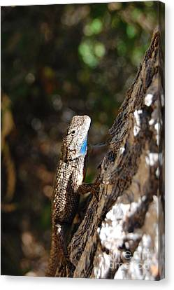 Canvas Print featuring the photograph Blue Throated Lizard 4 by Debra Thompson
