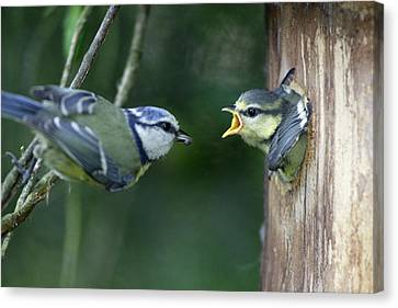 Blue Tit And Chick Canvas Print by Duncan Usher