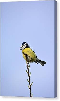 Blue Tit Sitting Pretty  Canvas Print by Tommytechno Sweden
