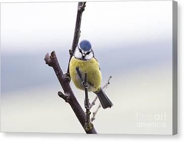 Titmouse Canvas Print - Blue Tit by Tim Gainey