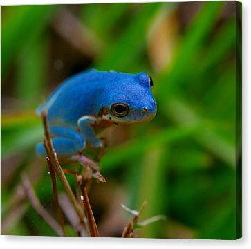 Blue Tree Frog Canvas Print by April Wietrecki Green