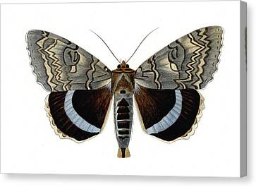 Blue Underwing Moth Canvas Print by Collection Abecasis