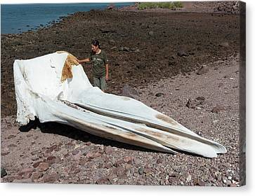 Blue Whale Skull Canvas Print by Christopher Swann