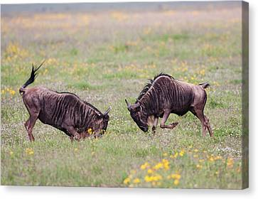 Blue Wildebeest Connochaetes Taurinus Canvas Print by Photostock-israel