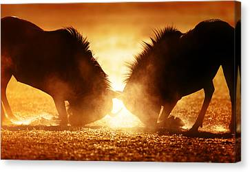 Blue Wildebeest Dual In Dust Canvas Print by Johan Swanepoel