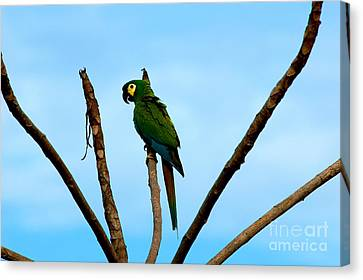 Blue-winged Macaw, Brazil Canvas Print by Gregory G. Dimijian, M.D.