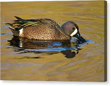 Blue-winged Teal (anas Discors Canvas Print by Larry Ditto