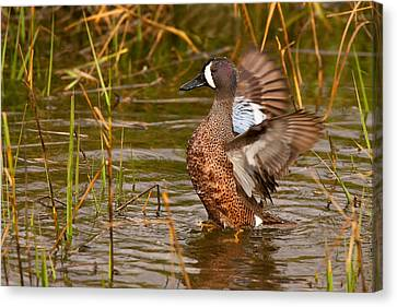 Canvas Print featuring the photograph Blue-winged Teal by Ram Vasudev