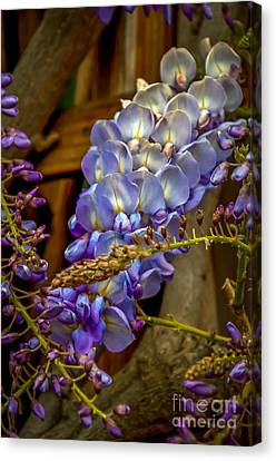 Blue Wisteria Canvas Print