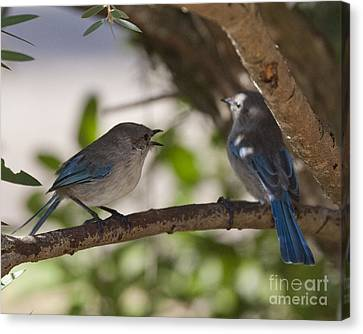 Blue Wrens 1 Canvas Print by Serene Maisey